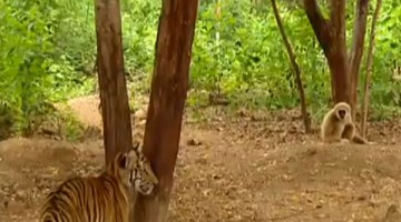 Funny Incident Of Tigers Being Bullied By Monkey Is Hilarious!