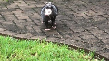 Opossum Family Finds Shelter