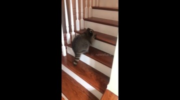 Raccoon fishes ice cube out of bowl to play chase