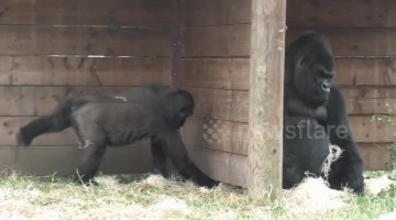 Cheeky gorilla baby loves to wind up his dad