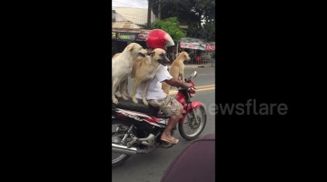 Man balances his three dogs on motorcycle as he goes for a ride