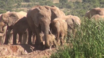 Mom comes to the rescue after baby elephant screams for help