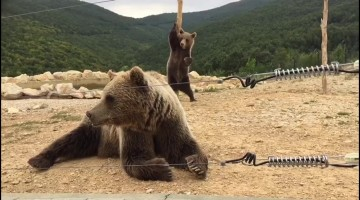 Bear does a little dance in Kosovo sanctuary