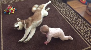 Siberian Husky cautiously (and adorably!) plays with baby