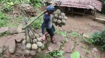 Strong durian bearers carry up to 120 kg of fruit to market every day