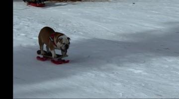 Bulldog Shreds the Gnar