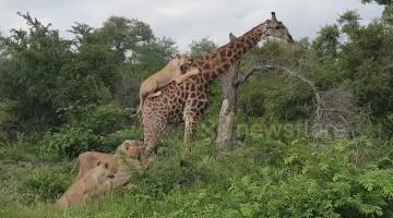 Moment lion ambushes lone giraffe by jumping onto its back