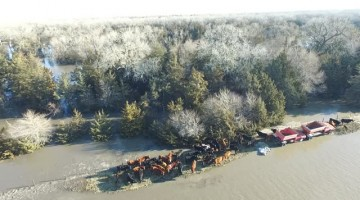 Flooding Forces Cows to Tiny Island