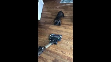 Pick on someone your own size! Small dog tries to attack vacuum cleaner