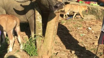 Chainsaw Required for Animal Rescue