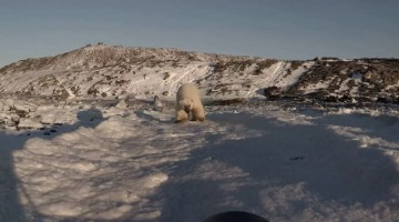 Polar Bear Comes in for Close Up
