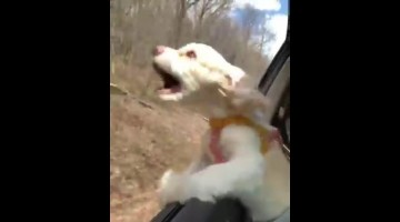 Puppy's first time with head out of car window will crack you up!