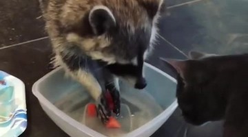 Cat scolds raccoon for putting food in water bowl