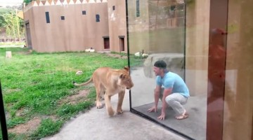 Lionesses playfully interact with zoo visitor