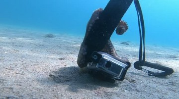 Small Octopus Suctions to Selfie Stick