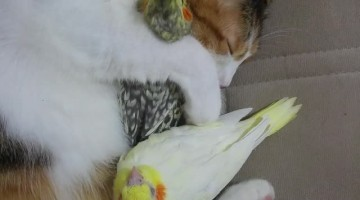 Cute Birds Cuddled by Cat