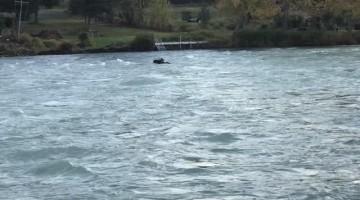 Bull Moose Floats Down Kenai River after Momma and Calf