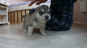 Sweet Little Squeaky Husky Puppy
