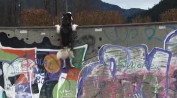 Husky Tries to Hang On