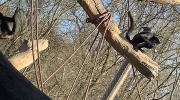 Phone Snatched by Spider Monkey