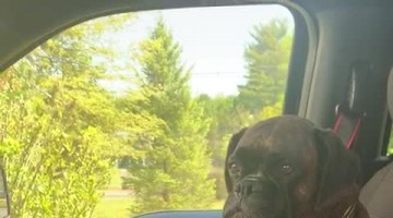 Kali the Boxer Wants to Go for a Longer Car Ride