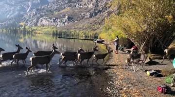 Herd of Dear Wander Along the Water
