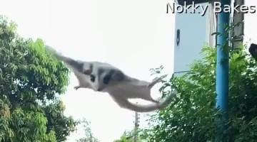 Sugar Glider Falls Short