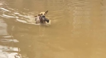 Dog Carries Puppy to Safety on Flooded Street