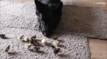 German Shepherd preciously looks over tiny newborn chicks