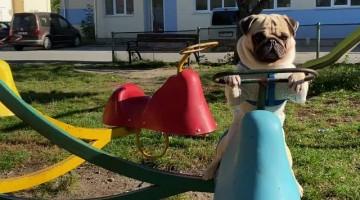 Pug Having Fun Playing on Merry-Go-Round