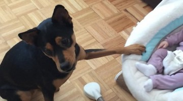 Caring Dog Adorably Rocks The Baby's Cradle