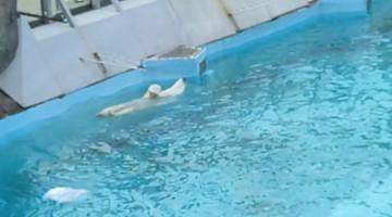 Polar Bear Goes for Relaxing Swim