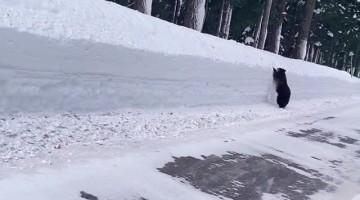 Bear Runs Along Road Looking for an Exit