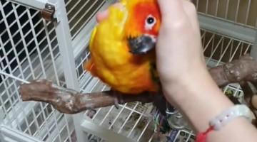 Pumpkin the Parrot loves Cuddles