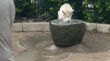 Goofy Husky Plays in Water Fountain