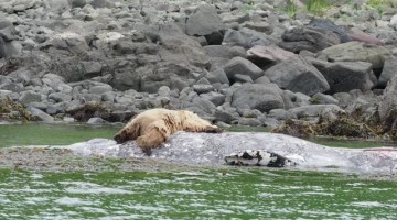 Massive Brown Bears Feast on Dead Gray Whale