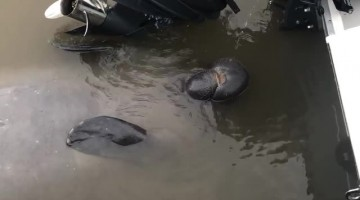 Thirsty Manatee Takes a Drink From a Boat Engine
