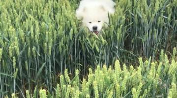 Fluffy Dog Bounds over Barley