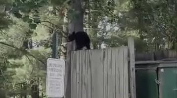 Bear Family Goes Dumpster Diving