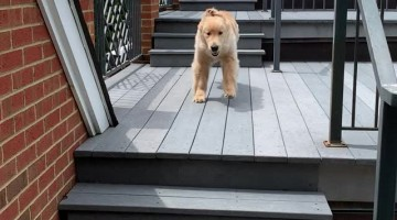 Owen the Golden Loves Jumping Down Stairs
