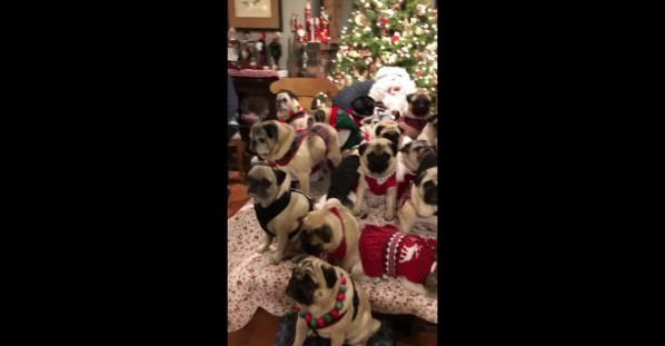 Large family of pugs dons Christmas sweaters for holiday photo with Santa