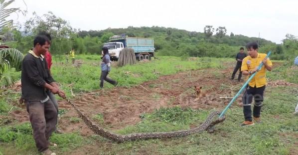 Four-metre long python caught in farmer's field