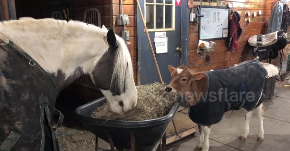 Rescue calf and horse share hay dinner together at New York sanctuary
