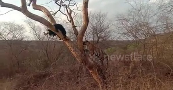 Baloo chases off Shere Khan! Bear and tiger in rare standoff in India