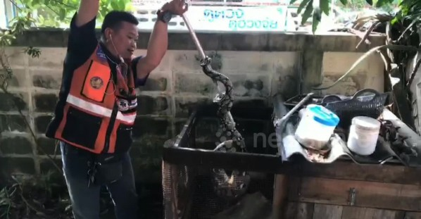 Wild python caught after eating pet rabbit