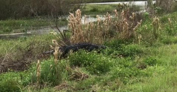 Giant alligator surprises joggers along trail in Florida