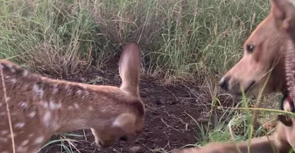 Baby Deer Meets Happy Pup