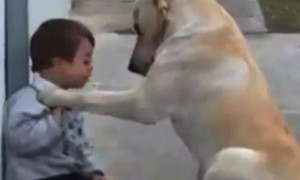 More Than A Best Friend! Watch a Dog Befriend A Child With Down Syndrome.