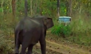 Provoked Elephant Charges At A Jeep In The Middle Of The Forest! The Driver Must Have Nerves Of Steel To Do This