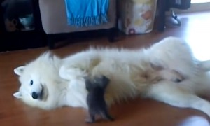 Cutest Little Fight Between A Tiny Kitten And Huge Dog Will Melt Your Heart